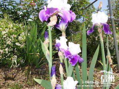 白と紫のアイリスが可憐です