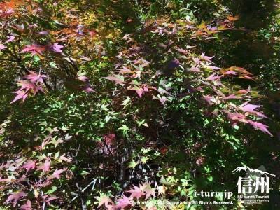 こちらは緑の中に紫っぽい色の紅葉