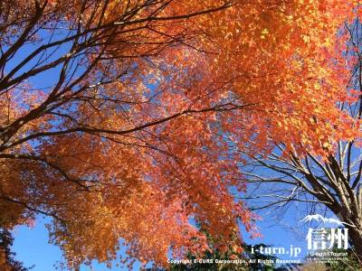 大きな木の紅葉は下から見上げると見事