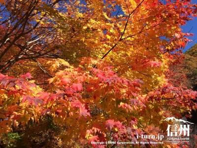 一本の紅葉でも黄色から先端にかけて赤くなっています