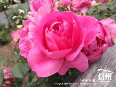 テラス席の柵にもバラが綺麗に咲いていました