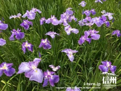 紫色が鮮やかでとても綺麗