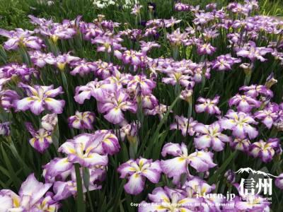 グラデーションの花菖蒲も綺麗