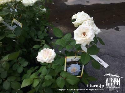 この白いバラも980円