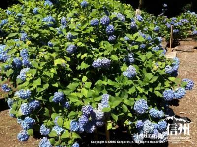 このブルーのアジサイが一番多く咲いていました