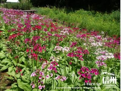 くりん草園|九十九谷森林公園内のクリンソウ園|下伊那郡喬木村