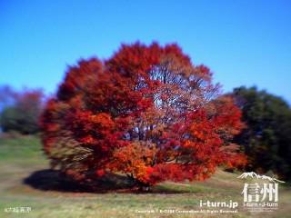 大峰高原七色大カエデ'09|七色に変化する大樹|池田町
