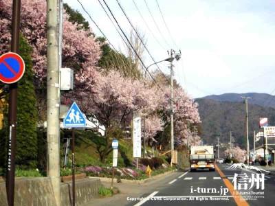 高遠城址公園の春|この地にしか咲かないタカトオコヒガンサクラ|伊那市高遠