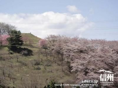 弘法山古墳桜祭り|五千本を超える桜が古墳を染める|松本市並柳