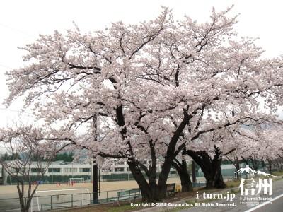 薄川沿いの桜|北アルプスの残雪の白さと桜の花のピンクの色が綺麗|松本市埋橋