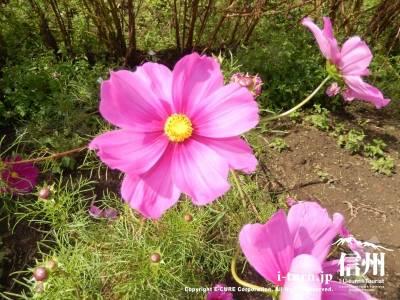 中央アルプス花の里のコスモス|約200万本のコスモス|上伊那郡飯島町