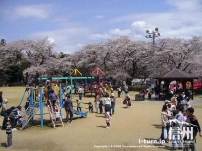春日公園の桜|ファミリーにおススメのお花見スポット|伊那市西町