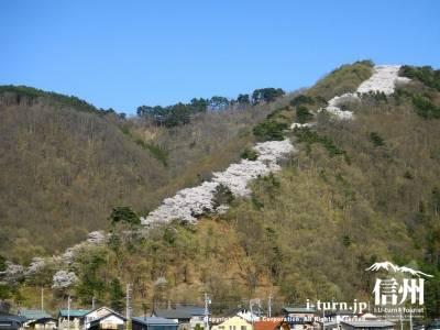 光城山【2012】|今年は麓から山頂まで一気に開花|安曇野市豊科