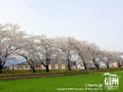 扇町桜堤(おおぎまちさくらつつみ)|桜の向こうに常念・蝶ヶ岳|安曇野市堀金