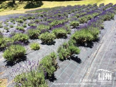 鳥居平やまびこ公園|ラベンダー摘みが楽しめる|岡谷市内山