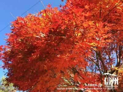 もみじ湖周辺の紅葉|約10,000本のモミジが楽しめる|上伊那郡箕輪町